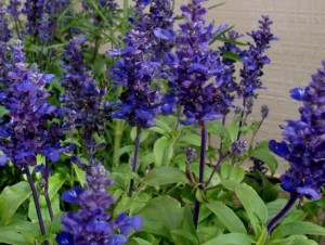 BUNGA BLUE SALVIA.