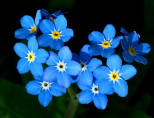 BUNGA FORGET ME NOT