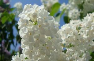 BUNGA WHITE LILAC