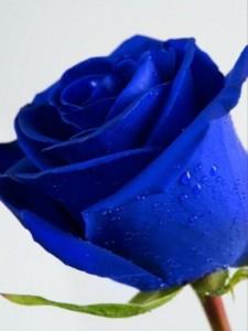 bunga biru