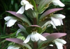 Bunga Accanthus