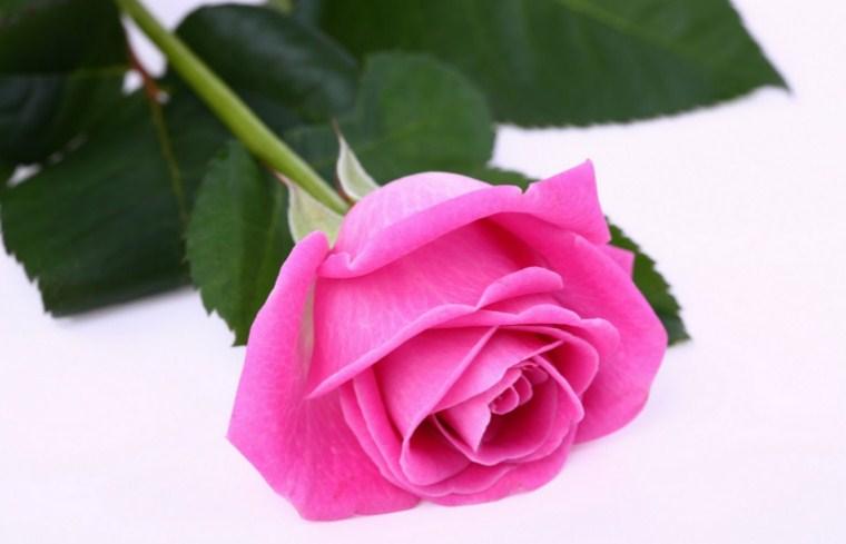 Bunga Mawar Pink Toko Bunga Online Tws Florist