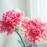 Bunga carnation