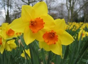 Bunga narcissus