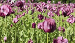 Bunga Opium atau Candu
