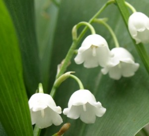 bunga lily of the valley