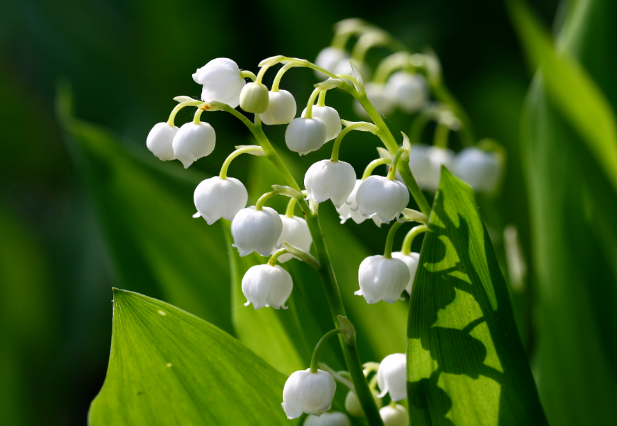 lily of the faily