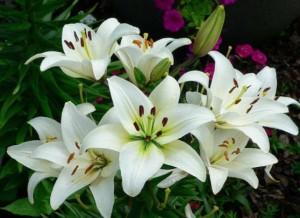 Bunga Lili Putih