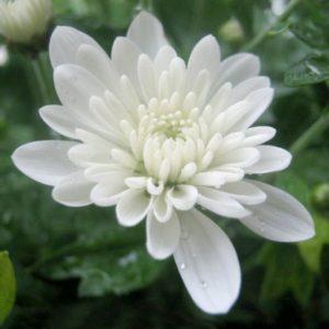 Bunga Seruni