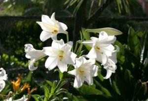 Pohon Bunga Lili