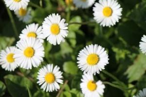 bunga aster2