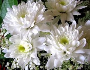 bunga krisan putih