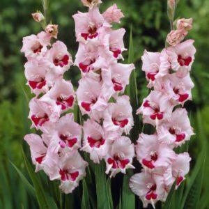 bunga gladiola