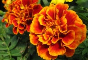 Bunga Marygold