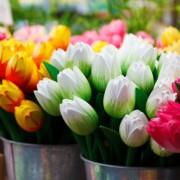bunga-tulips