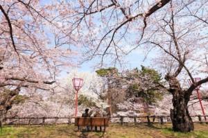 bunga-sakura-11