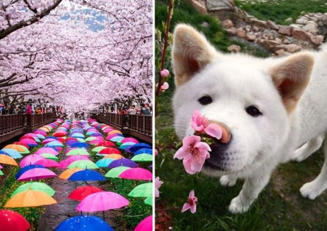 bunga-sakura-7