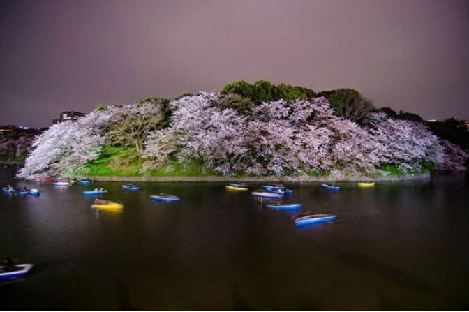 bunga-sakura-8