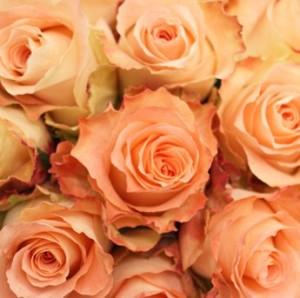 mawar-peach
