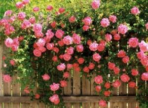 pohon bunga mawar