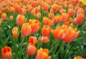 Bunga Tulips Oranye