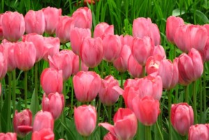 Bunga Tulips Pink