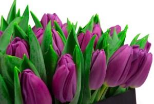 Bunga Tulips Ungu