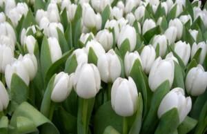 bunga tulips Putih