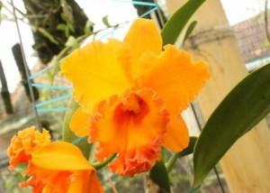 Anggrek Cattleya