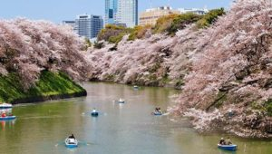 Sakura di Taman Chidorigafuchi