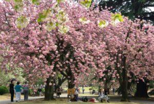 Sakura di Taman Yoyogi