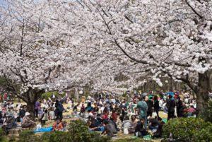 Sakura di inokashira