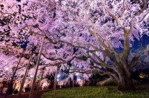 Sakura di taman Rikugien