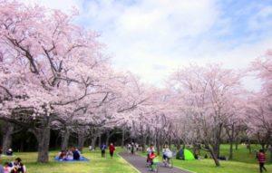 Sakura di tokyo