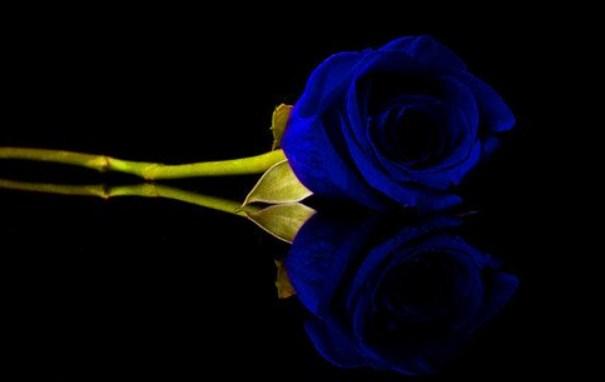 Bunga Mawar Biru Toko Bunga Online Tws Florist