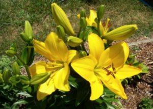 Bunga Lili Kuning
