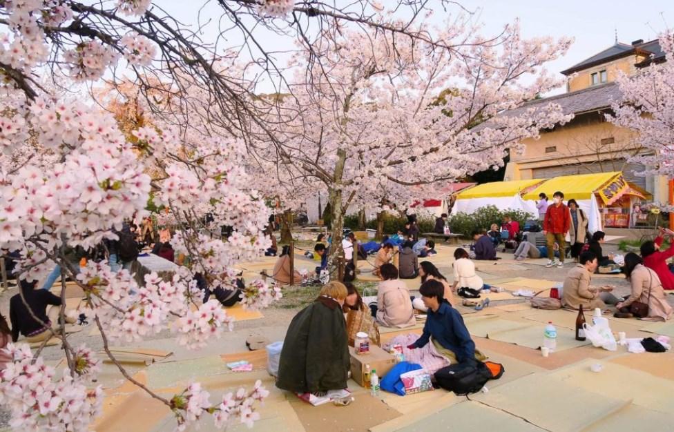 Hanami, menikmati keindahan bunga sakura di Jepang